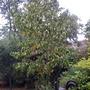 Pocket handkerchief tree