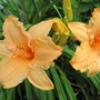 Dollhouse  daylily (hemerocallis)