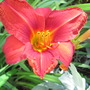   daylily  (hemerocallis)
