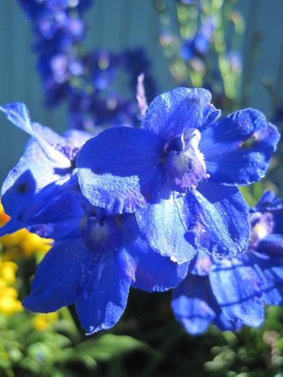 True Blues (Delphinium elatum (Delphinium))