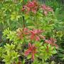New red growth on Pieris