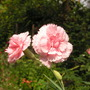 Dianthus_doris_