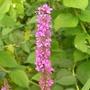 Lythrum_salicaria
