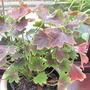 Pelargonium 'Chocolate Twist' (pelargonium)