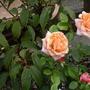 Dixieland_rose_close_up_004