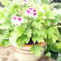"Pelargonium ""Orange Fizz"""