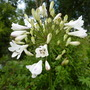 Agapanthus (White Flowered African Lily)
