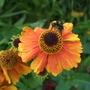 H._sahin_s_early_flowerer_