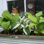 Hosta Planter