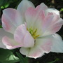 "Tulipa ""angelique"" (Tulipa)"