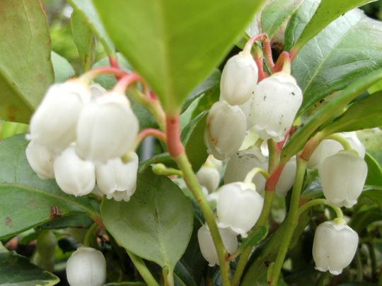 Gaultheria     (Gaultheria procumbens (Box Berry))