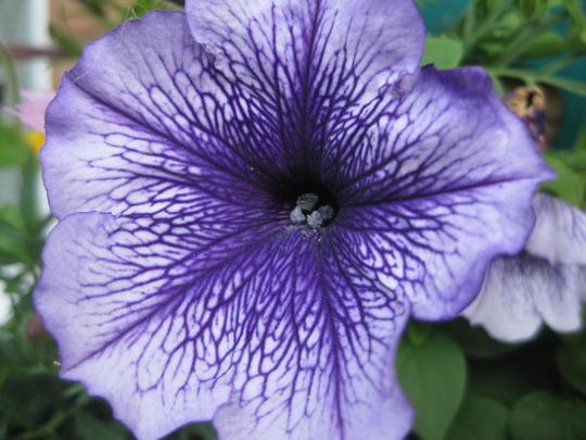 "Petunia multiflora ""Frenzy Blue Vein"""