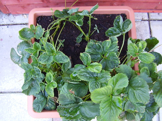 How do i get my strawberries to grow?