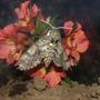 Manduca Moth on Alstroemeria