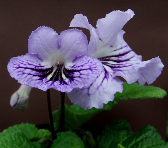 Charlaya_1_with_second_flower..jpg