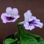 Charlaya_2_with_second_flower.jpg