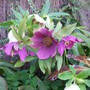 Lentern Rose (Helleborus viridis (Green Hellebore))