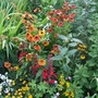 Heleniums_in_hot_border
