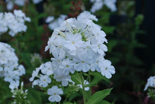 Phlox White. (Phlox White.)
