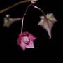 Young Rhodochiton flower (Rhodochiton atrosanguineus (Rhodochiton))