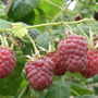Raspberries   ....  Malling Jewel
