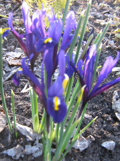Dwarf Siberian Iris (Iris sibirica (Siberian iris))