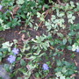 Vinca minor,  or Periwinkle starting