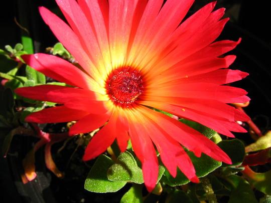Mesembryanthemum crystallinum in sun
