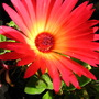 Mesembryanthemum crystallinum in sun