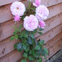 White/Pink Roses. 14 (Not Known)