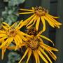 Close up Of Ligularia Flowers....... (ligularia Britt marie Crawford)