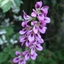 Francoa sonchifolia 'Rogerson's Form' (Francoa sonchifolia (Bridal Wreath))
