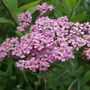Achillea_lilac_beauty_