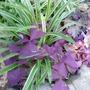 米兰—紫叶