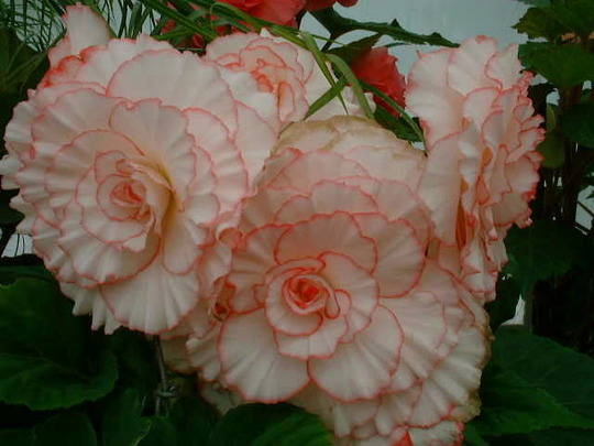 Begonia (Variety not known)