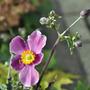 Anemone x hybrida 'September Charm' (Anemone x hybrida (Japanese anemone))