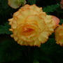 Begonia (variety unknown)