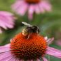 Echinacea.....and Bee (Echinacea Purpurea)