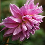 "Dahlia ""Lavender Perfection"" (Dahlia Pinnata {Decorative Dhalia})"