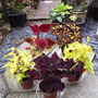 New Coleus Collection (Solenostemon scutellarioides (Coleus))