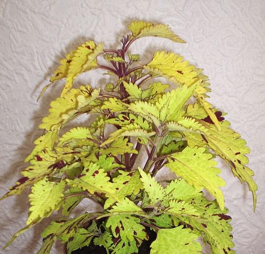 """Coleus """"Pineapplette"""" (Solenostemon scutellarioides (Coleus))"""