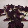 """Coleus """"Red Velvet"""" (Solenostemon scutellarioides (Coleus))"""