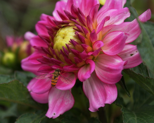 Dahlia  and little friend  (Dahlia Pinnata)