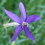 "Isotoma ""Blue"" (Isotoma axillaris (Australian Harebell))"