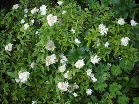 Spiraea  (white) (Spiraea)
