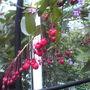 Berberidopsis Corallina (lilium Mackliniae)