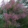Tamarix ramosissima (Tamarix ramosissima)