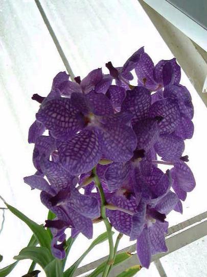 Orchid. Vanda Rothschildiana