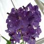 Orchid_vanda_rothschildiana