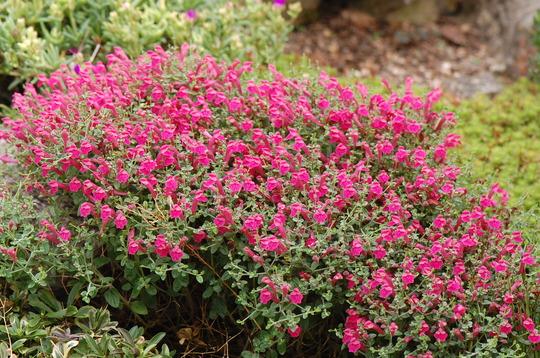 Scutellaria 'Texas Rose'